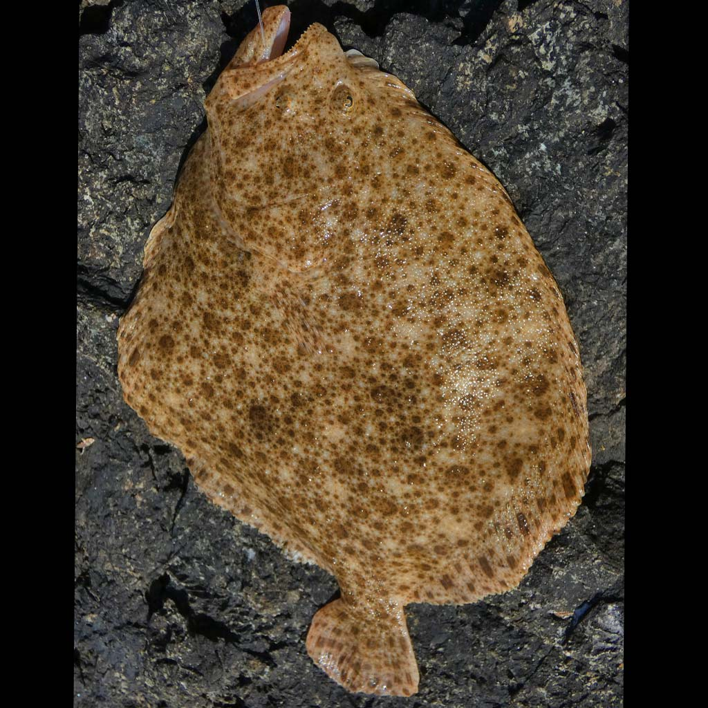 Turbot laying on the rocks
