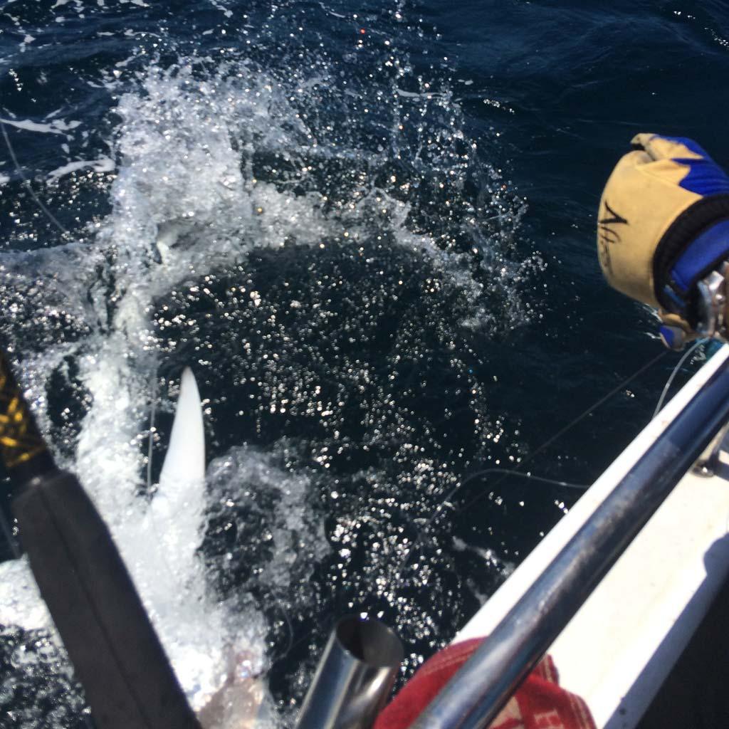 blue shark thrashing at side of a boat
